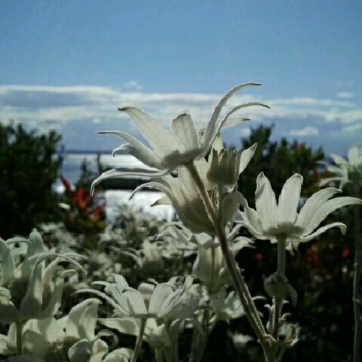 Flannel Flowers. Actinotus helianthi