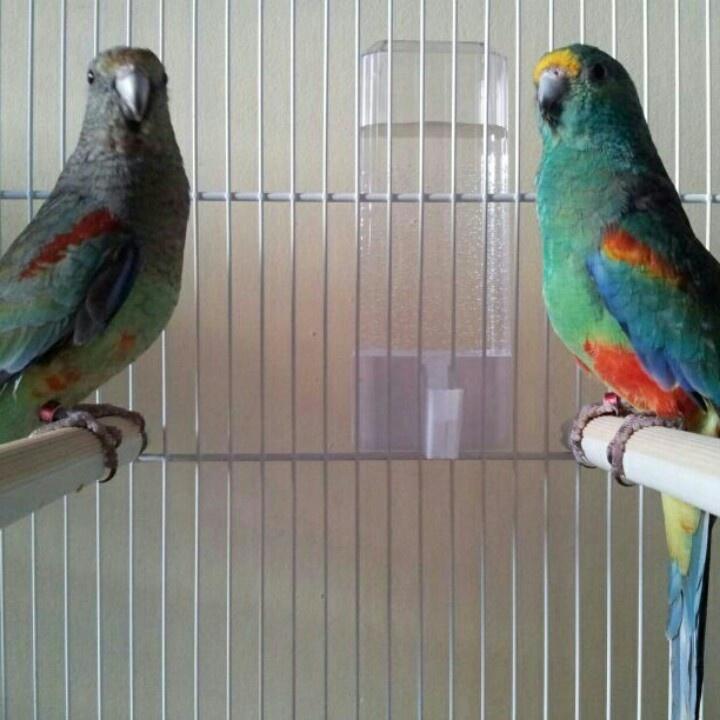 La mia coppia di parrocchetti multicolore