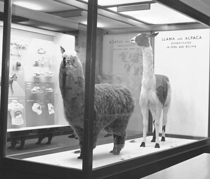 Mammal Monday, Llama vs Alpaca. Which is your favorite?  © The Field Museum, GN84282_6, Photographer Diane Alexander White.  Llama and Alpaca. Mammals of the World Hall 15 exhibit case, Llama is Lama glama.  120 negative  2/1/1986
