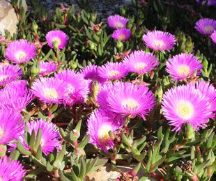 AUSSIE RAMBLER™ Carpobrotus is a native groundcover plant with large pink flowers | Native Shrubs & Ground Covers