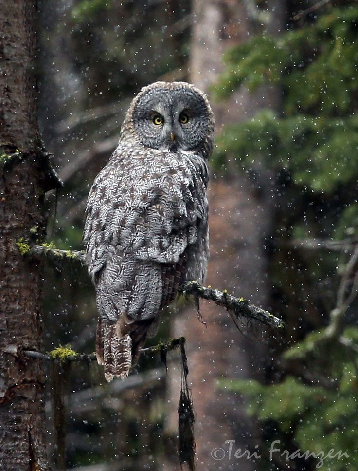 The wingspan of the Great Gray Owl is an impressive 60 inches. And yet, it weighs only 2-3 pounds.