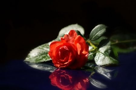 A rose for you - flower, reflection, red rose, rose