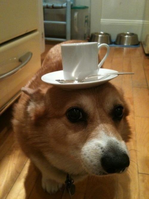 Teacup corgi | Dogs | Pinterest