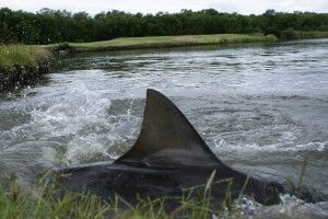 The Carbrook Golf Club, in Brisbane, Australia, has a water hazard full of sharks.  A few years ago a local river flooded and broke its banks.  The sharks left their home and found new lodging at the 15th hole. Currently six, 10-foot bull sharks call the course their home.