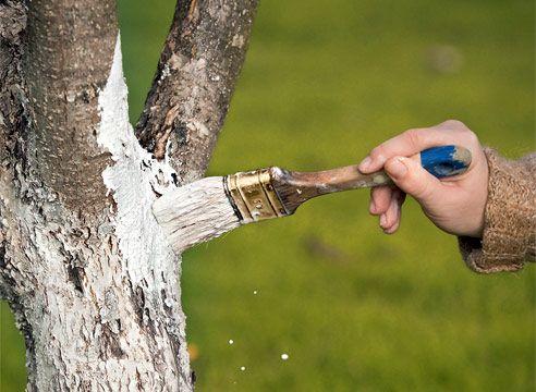 Что вы могли не знать про побелку деревьев?