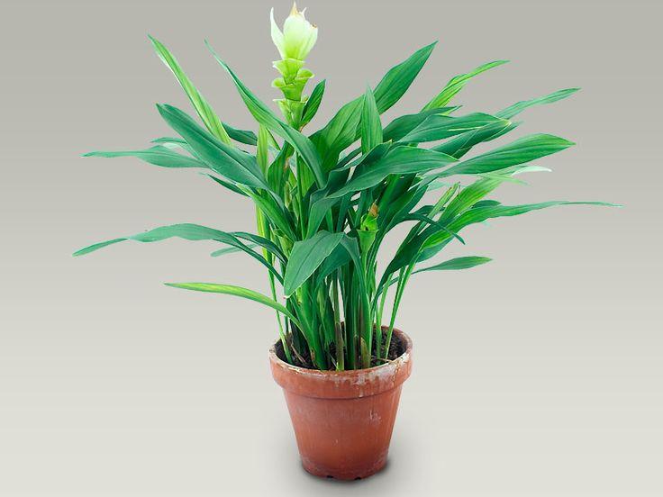 Bildergebnis für kurkuma pflanze