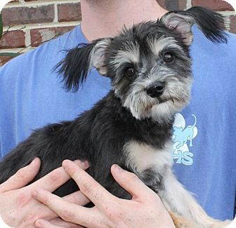 Prattville, AL - Yorkie, Yorkshire Terrier Mix. Meet Bella 25828, a dog for adoption. http://www.adoptapet.com/pet/16999409-prattville-alabama-yorkie-yorkshire-terrier-mix