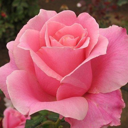 """Perfect Pink""  | Perfect Pink Rose | Pink roses"