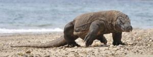 Un dragón de Komodo ataca a dos vigilantes del Parque Nacional