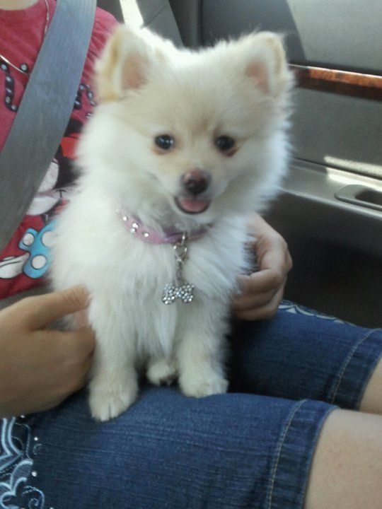 Pictures of Pomeranian Dog Breed