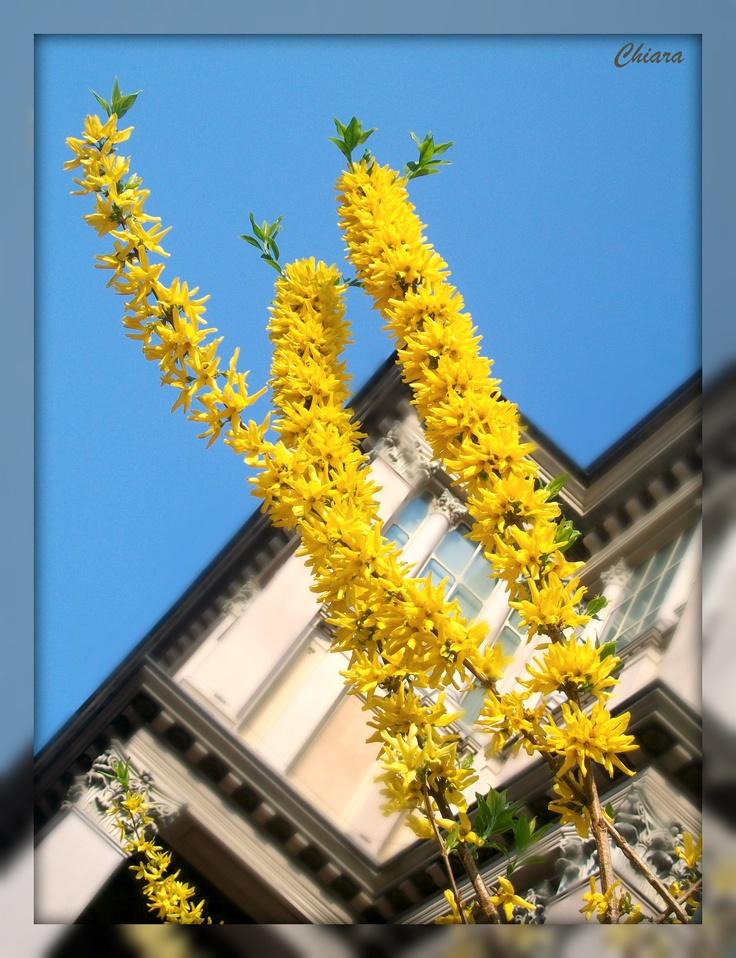 Forsizia o l'oro dei giardini ..