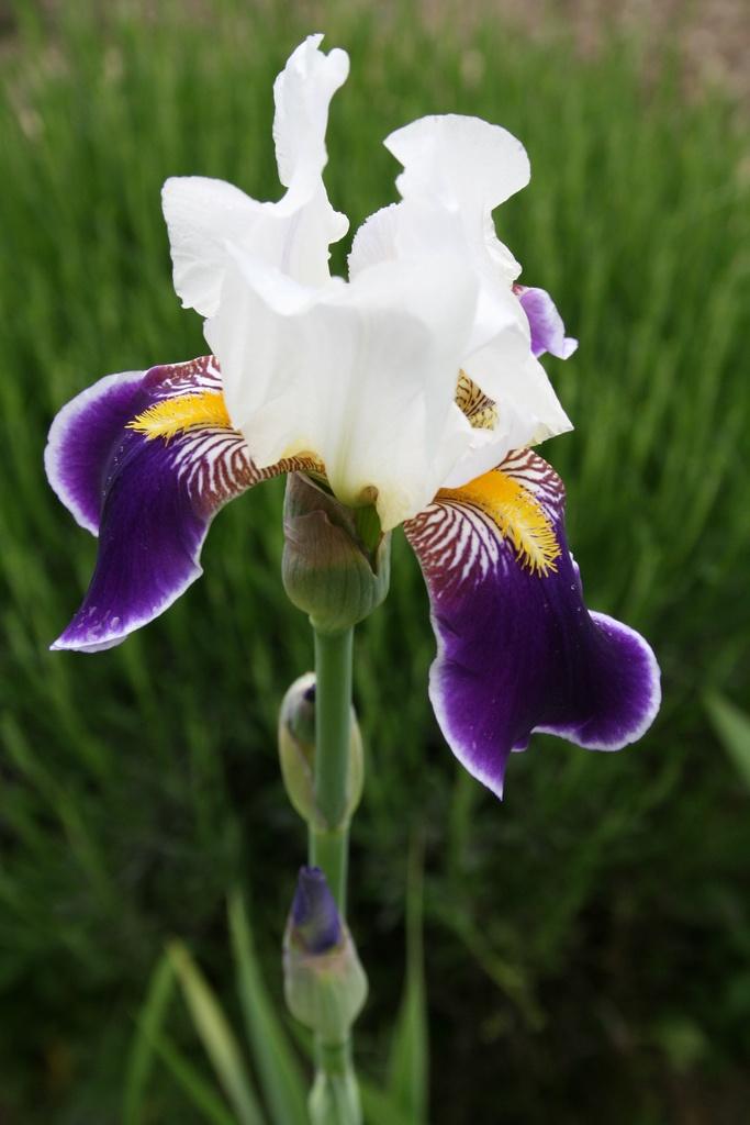 Iris Germanica / Lirio_detalle