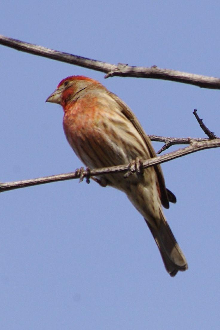 House Finch - Backyard | Birds of Southern California ...