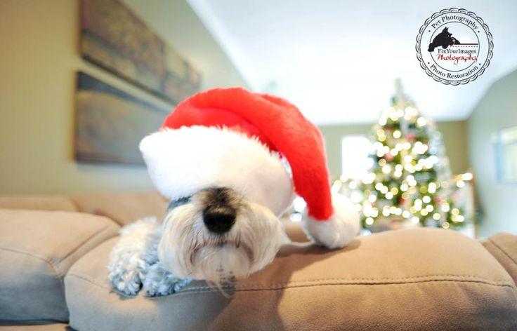 Tis+the+Season+–+Mini+Sessions+Including+Holiday+Christmas+Cards+++Miniature+Schnauzer+Santa+Paws+–+Kansas+City+Pet+Photography+»+Kansas+City+Dog+