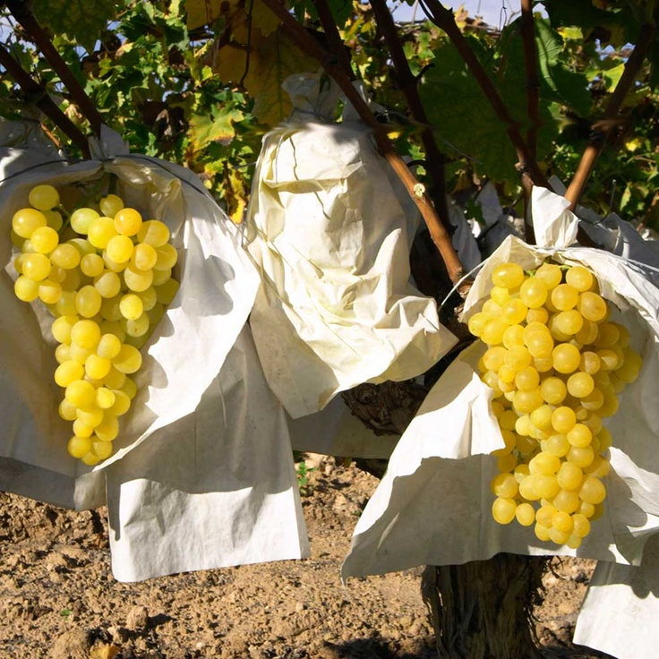 Die Eintütung verlangsamt den Reifugsprozeß und ermöglicht so eine Versorgung des winterlichen Obstmarkts mit sommertypischen Früchten.  #Spain #grapes #herkunftsbezeichnung