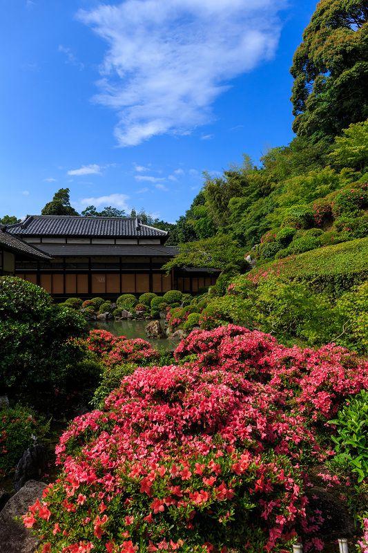 Azaleas, Chishakuin Temple, Kyoto / サツキ(躑躅)の智積院