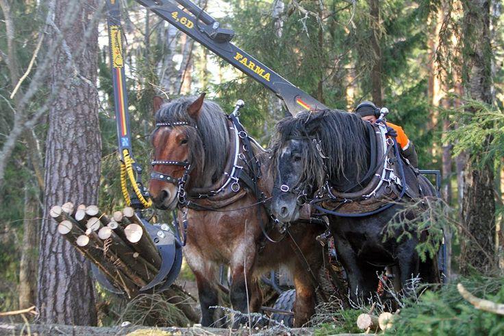 Rouskutellen!: Yksi Euroopan tehokkaimmista hevosvaljakoista meidän tallimme pihassa - vau!