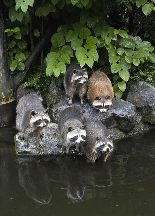The raccoons nest on the edge of the forested bank across the river from my backyard. Love watching the moms and their kits in the spring.  .