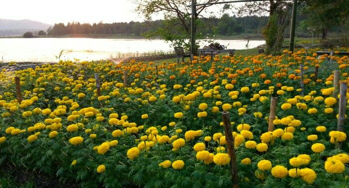 Marigold 2 colors