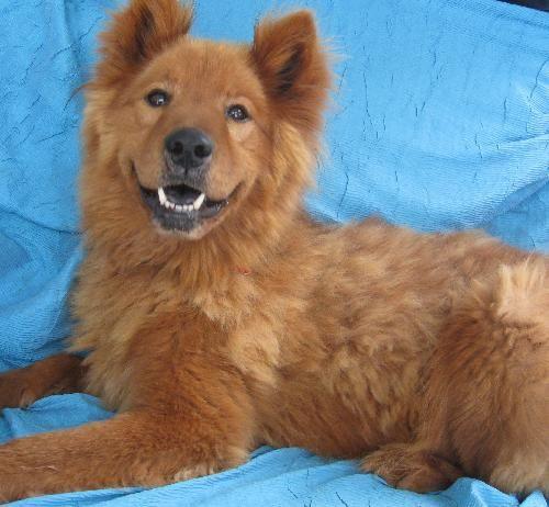Bear Dahill Chow Chow & Husky Mix • Senior • Male • Large Joyful Rescues Cuba, NY