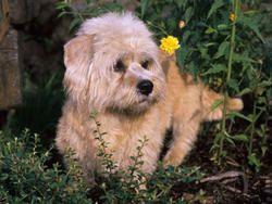 Chien Dandie Dinmont Terrier