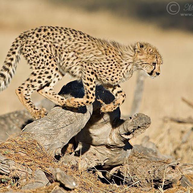 "Morkel Erasmus 🐘 🌄  This one is a ""cheetah"" in the 110m hurdles 😂🙈📸 _____________ #kalahari #Kgalagadi #cheetah #funny #punny #hurdles #wildlifephotography #thisisSouthAfrica #iamNikon #thruthelens"