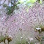The 20 best xeriscape plants for Colorado -  Apache Plume