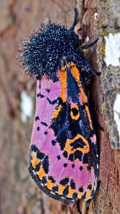 Giant Silkmoth from Sierra Leone: Eudaemonia argus Pink moth with ...