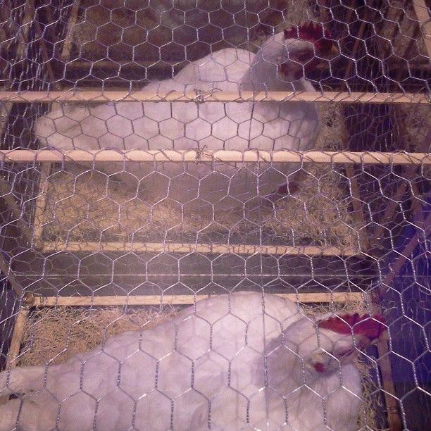 Diorama of chickens in battery cages showing animal cruelty in ...