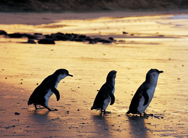 Why You Must Visit Penguin Parade on Phillip Island!