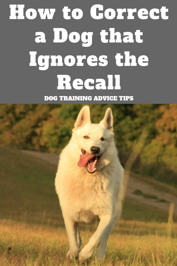 Is Your Dog Ignoring Your Recall Here S How To Correct It Dog