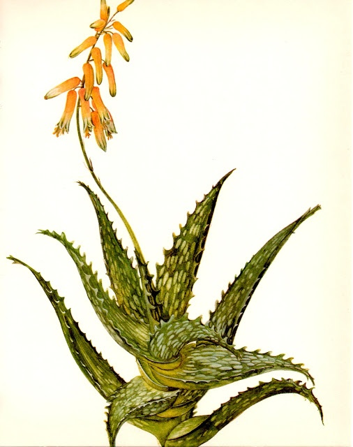 Botanical Illustration of aloe saponaria (?). Love the movement and color palette.