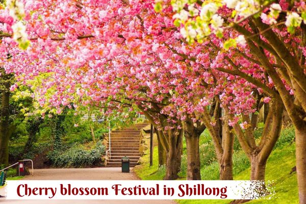 Do you know??? #CherryBlossom Festival will be held in #Shillong in November where the city comes with alive with beautiful Cherry Blossoms. This year, the Cherry Blossom Festival is going to be held on #InternationalLevel where India will join the leagues of the US, New Zealand, Holland and South Korea.