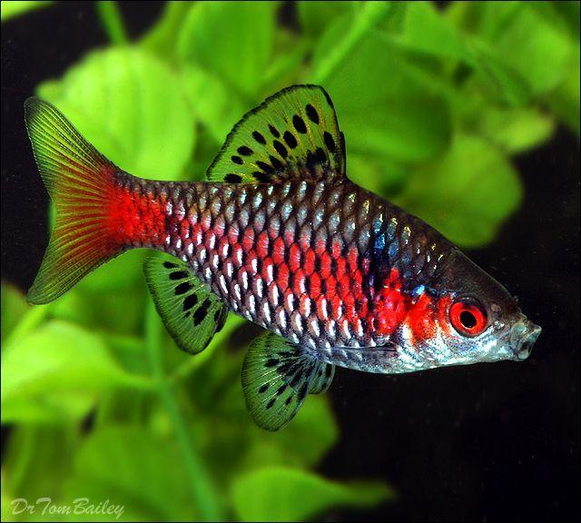Puntius Ticto Puntius Ticto Fresh Water Fish Tank Aquarium Fish Pet Fish