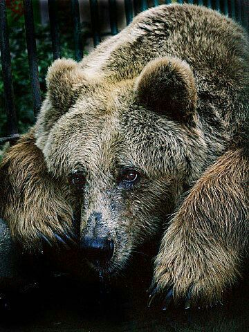 Sad Grizzly Bear!