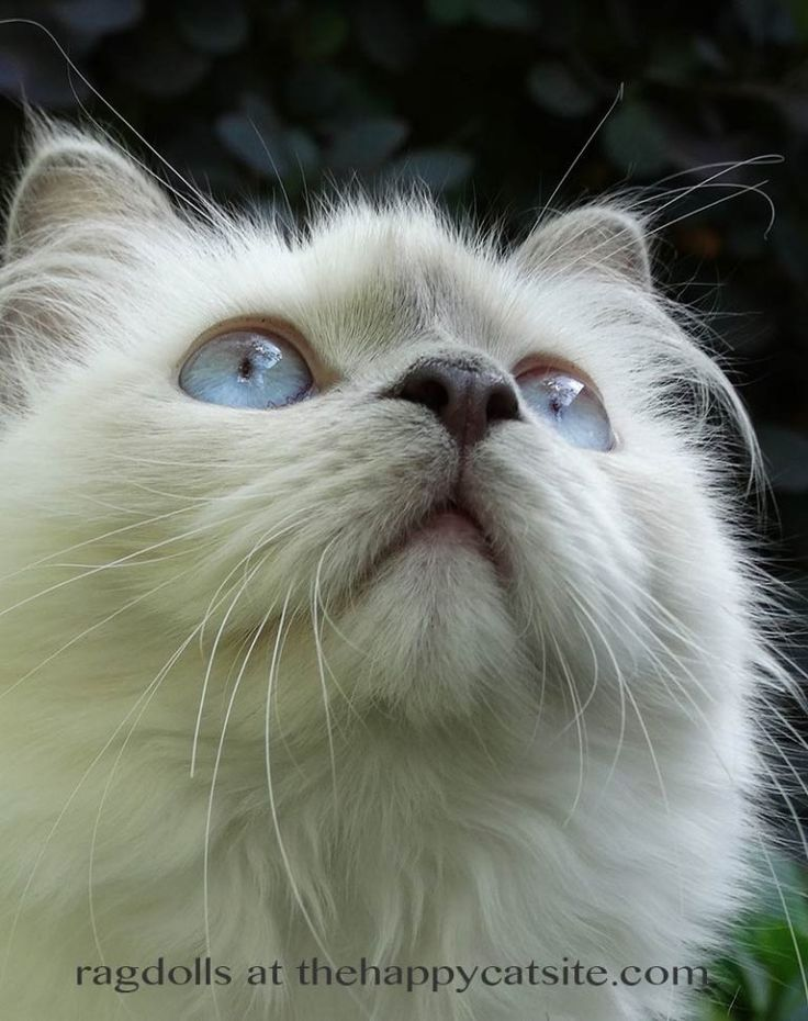 Ragdoll Cats A Complete Guide To The Ragdoll Cat Breed Ragdoll Cat Ragdoll Cat Breed Cat Breeds