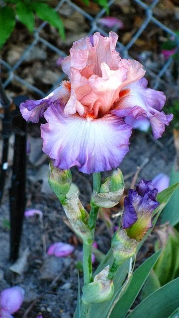 Iris barbudo Blowing Kisses  I LOVE PERENIALS AND EVERGREENS, I PLANT FEW ANNUALS, RATHER PLANT VEGES AND MAINTAIN THE PERENIALS, SO I DO LOVE THE IRIS//