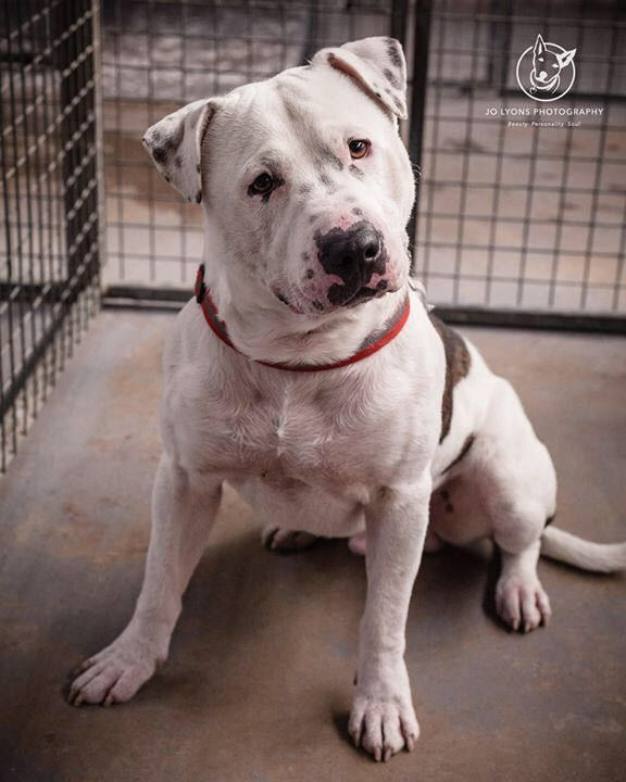 This big boofy boy is waiting patiently for someone to fall in love with him at Renbury Farm Animal Shelter... his nickname is Ledger and he has great volunteer notes on his profile. His gate card says he can be selective about the dogs he likes, but this