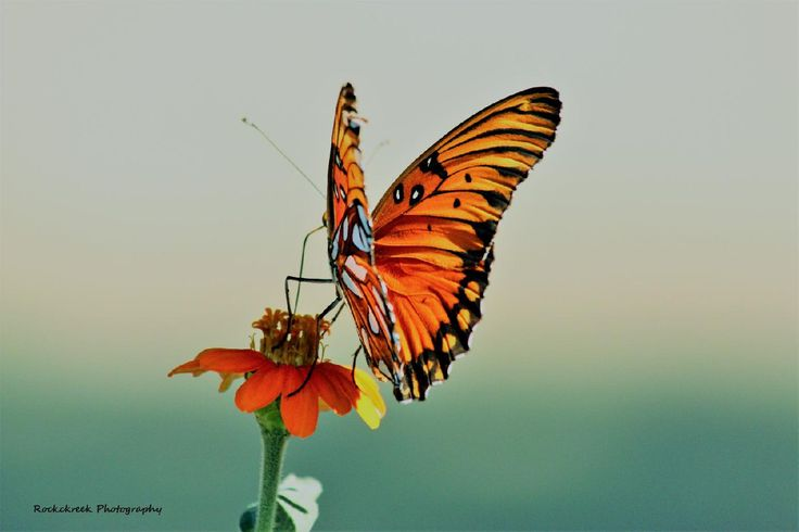 Gulf fritillary butterfly, ventral and dorsal view, on orange flower.