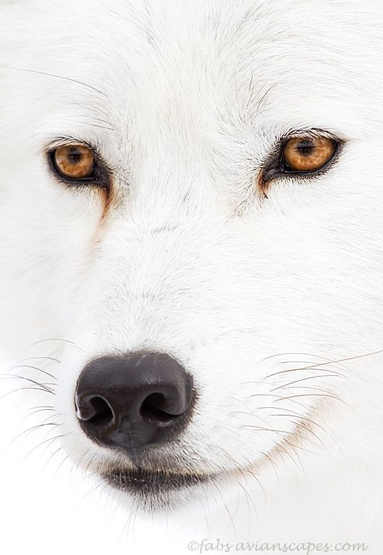 Wolves are so Beautiful