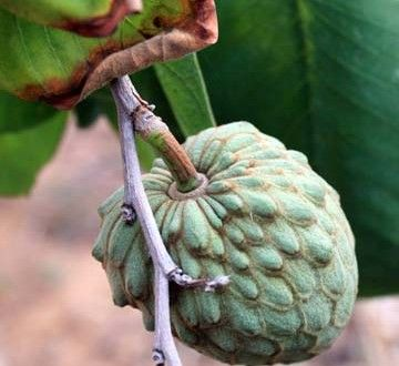 Cherimoya Grows In California And Tastes Delicious Garden Plant Pinterest Fruit Trees Exotic