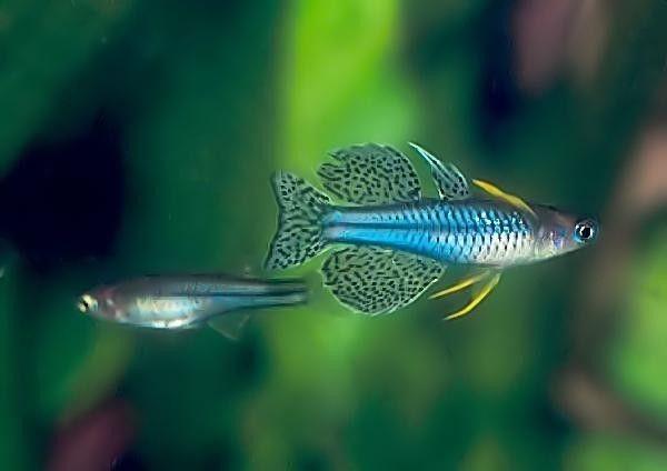 Pseudomugil Gertrudae Regenboogzalm Tropische Vissen Vissen Aquarium