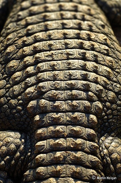 Nile Crocodile Skin Macro Photograph  #patterns and #textures