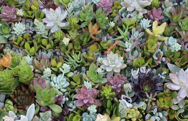 20 Aeonium Variety Succulent Cuttings  wall gardens wreaths topiaries wedding gifts favors Succulents  echeverias. $21.00, via Etsy.