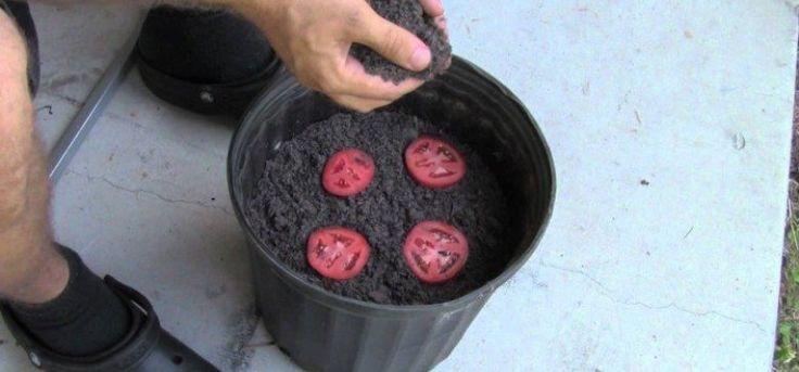 Voici Comment Faire Pousser Des Tomates BIO Avec Cette Astuce Toute Simple!