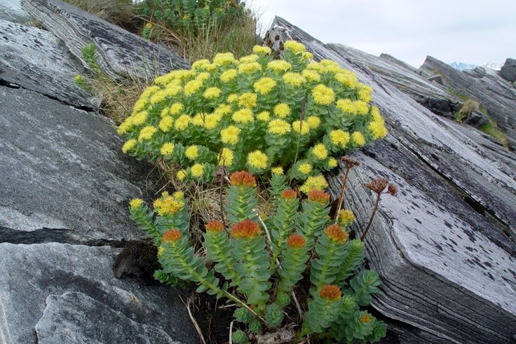 Rhodiola Rosea – Uses, Dosage, Health Benefits, and Side Effects ...
