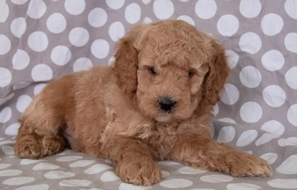 Petland Overland Park Has Mini Goldendoodle 2nd Gen Puppies For