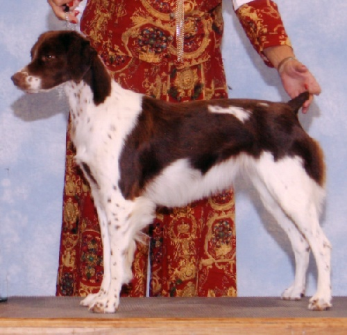 Beautiful Brittney show dog