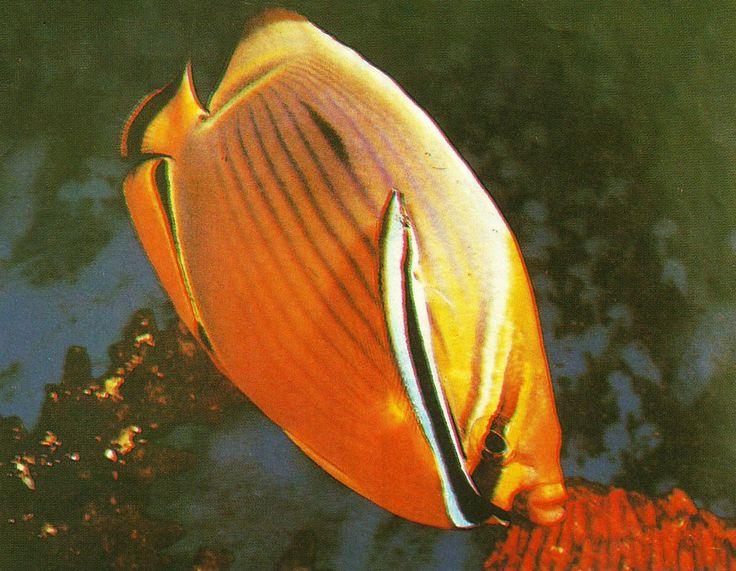 Simbiosis Mutualisme Pada Ikan Hias Air Laut