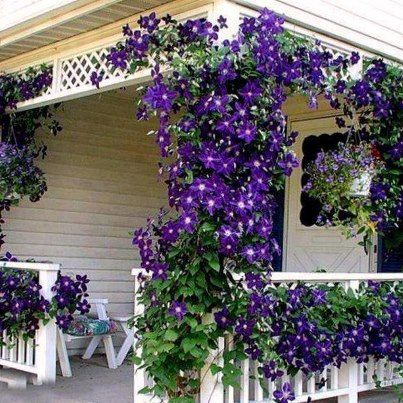 porch covered in purple clematis                                                                                                                                                     More